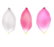 Three big Lotus Lily petals isolated on white. Beautiful set of pink, white and red lotus flower petal. Hand drawn spring summer flowers petal concept. Tender Royalty Free Stock Photography