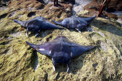 Three BIG Manta Ray.(Lamalera,Indonesia) Royalty Free Stock Photography