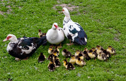 Three big muscovy Royalty Free Stock Images