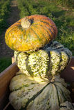 Three big ornamental pumpkins Stock Images