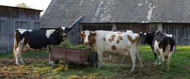 Three big Polish cows Royalty Free Stock Image