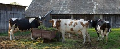 Three big Polish cows Royalty Free Stock Image