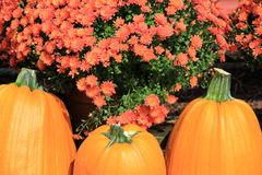Three big pumpkins and colorful hardy mums Royalty Free Stock Image