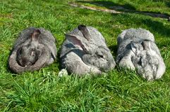 Three big rabbits Stock Photography