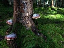 Three big reddish bracket fungi Stock Photo