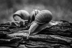 Big snails crawl one on one in the forest. Three big snails crawl one on one in the forest stock images