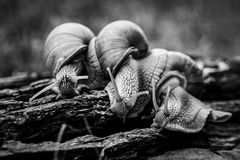 Big snails crawl one on one in the forest royalty free stock images