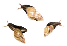 Three big snails  on white Royalty Free Stock Photo