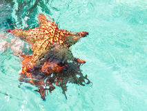 Three big starfish Royalty Free Stock Image