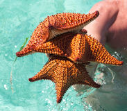 Three big starfishes Royalty Free Stock Images