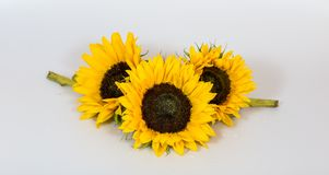 Three Big Sunflowers isolated on white Background for a card or design royalty free stock photo