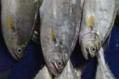 Three big tuna fish lie on a blue background with their heads down: a massive body with gray scales and yellow fins. Stock Photo