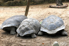 Three big turtle. Eating grass stock images