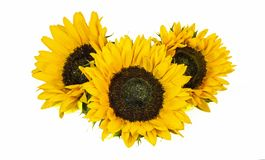 Three Big Yellow Sunflowers isolated on white Background. Late Summer and Autumn Flowers stock photo