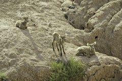 Three bighorn sheep lambs. Three bighorn sheep on rocks in Badlands National Park, South Dakota royalty free stock photography