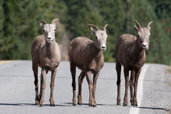 Three bighorn sheep on the road. Royalty Free Stock Photography