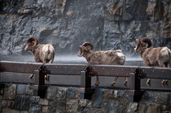 Three bighorns on the highway Stock Image