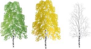 Three birch trees isolated on white Stock Photo
