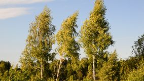 Three birch trees in the wind. Blue sky. Video stock footage