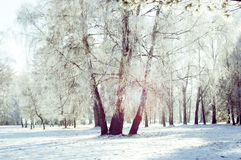 Three birch trunk in the snow Stock Images