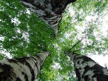 Three birches. A triple birch view upwards Royalty Free Stock Photography