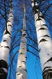 Three birches Stock Image