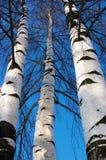 Three birches Stock Image