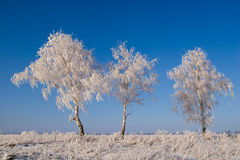 Three birches Royalty Free Stock Images