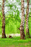 Three birches Stock Images