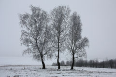 Three birches among a winter field. Stock Photography