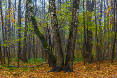 Three birches in the wood Stock Photo