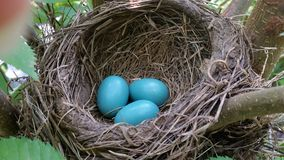 Three Bird Eggs in a Nest stock photos