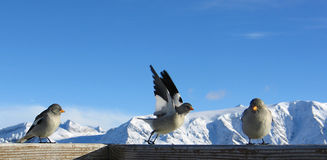 Three birds in the Alps. In a sunny day stock images