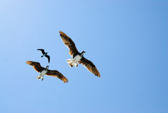 Three birds in blue sky Stock Images