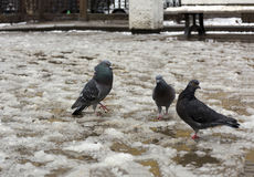 Three birds dove at standing on the melting snow, puddles Royalty Free Stock Image