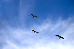 Three birds flying on a blue sky background Royalty Free Stock Photography
