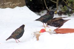 Three Birds on the Ground Surrounded by Snow royalty free stock photography
