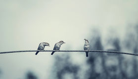 Free Three Birds On Wire, One Of The Bird Has A Food Stock Images - 97003674