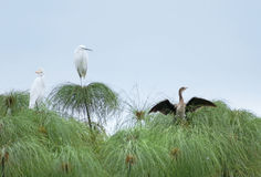 Three birds on papyrus plants Royalty Free Stock Photos
