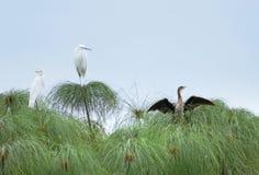 Three birds on papyrus plants Royalty Free Stock Photos
