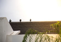 Three birds on the roof. Of the house In the morning./Focus on single bird Stock Photography