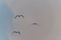 Three birds in the sky, cloudy time Stock Photos