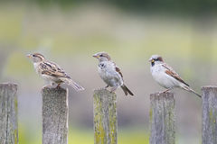 Three birds Sparrow flew to the  wooden fence Stock Photo