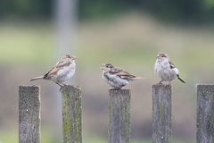 Three birds Sparrow flew to the  wooden fence Royalty Free Stock Image