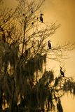 Three Birds in Tree. Three Anhingas sitting in a tree. Their orientation might represent upper management scanning the horizon, middle management in the middle royalty free stock image