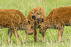 Three bison calves in field. royalty free stock photos