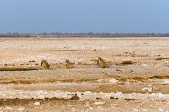 Three black-backed jackals drinking at artificial waterhole in Etosha national park. Three black-backed jackals drinking at artificial Gemsbokvlakte waterhole Royalty Free Stock Photo