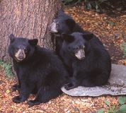 Three Black Bear cubs huddle together for safety. Three young Black Bears stay close to a tree that they can climb quickly in case of danger. Black bears are Royalty Free Stock Image