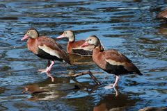 Three Black-bellied Whistling Ducks. In New Orleans royalty free stock image
