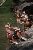 Many Black-bellied Whistling Ducks. In a park in New Orleans Royalty Free Stock Image